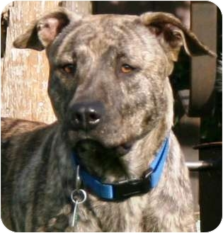 American Pit Bull Terrier Mix Dog for adoption in Houston, Texas - DIXIE