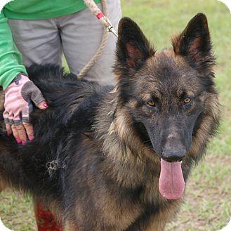 German Shepherd Dog Mix Puppy for adoption in Preston, Connecticut - Nathan