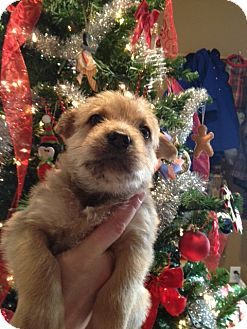 Terrier (Unknown Type, Medium) Mix Puppy for adoption in Westminster, Colorado - Ashley Wilkes