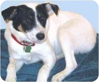 Terrier (Unknown Type, Small) Mix Puppy for adoption in Grass Valley, California - Jinks