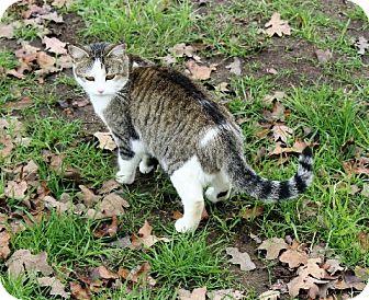 Domestic Shorthair Cat for adoption in Muldrow, Oklahoma - Karen