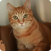 Domestic Shorthair Cat for adoption in Canoga Park, California - Tango