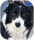 Border Collie Dog for adoption in Minerva, Ohio - Tucker