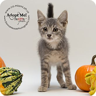 Domestic Shorthair Kitten for adoption in Troy, Ohio - Dudley