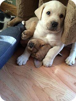 Labrador Retriever Mix Puppy for adoption in Rosemount, Minnesota - Blizzard