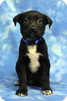 Shepherd (Unknown Type) Mix Puppy for adoption in Westminster, Colorado - Keanu