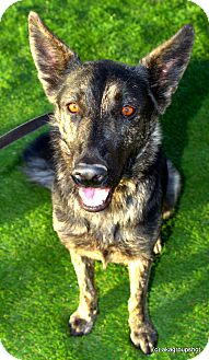 Dutch Shepherd Mix Dog for adoption in Phoenix, Arizona - Dutchess
