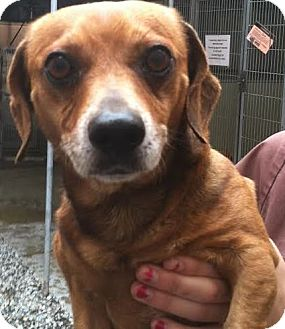 Dachshund Mix Dog for adoption in Westminster, California - Milano