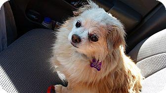 Pomeranian Mix Dog for adoption in Salem, Oregon - Penney