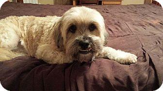 Lhasa Apso Mix Dog for adoption in Foster, Rhode Island - Bilbo (ETAA)