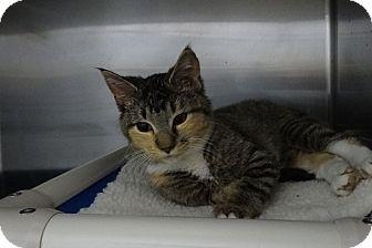 Domestic Shorthair Kitten for adoption in Elyria, Ohio - Missy