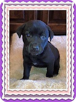 Labrador Retriever Mix Puppy for adoption in Austin, Texas - Puppy Remi