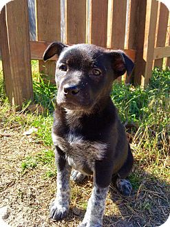 Australian Cattle Dog/Border Collie Mix Puppy for adoption in Vancouver, British Columbia - Shannon