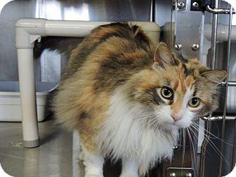 Calico Cat for adoption in Sullivan, Missouri - Avalon