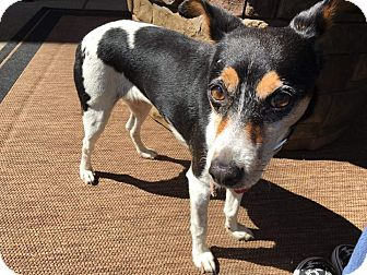 Terrier (Unknown Type, Small) Mix Dog for adoption in Concord, California - Sassy