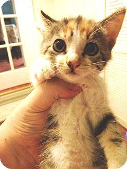 Domestic Shorthair Kitten for adoption in Putnam, Connecticut - Siouxsie