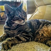 Domestic Shorthair Cat for adoption in Alexandria, Virginia - Gramps