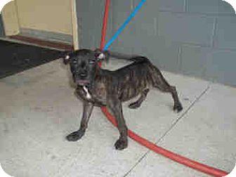 Mastiff Mix Puppy for adoption in Newnan City, Georgia - Chuck