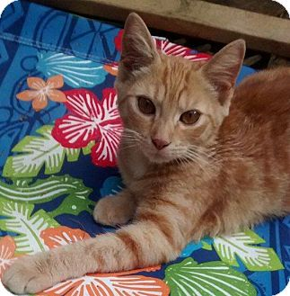 Domestic Shorthair Cat for adoption in Jefferson, North Carolina - Phoenix