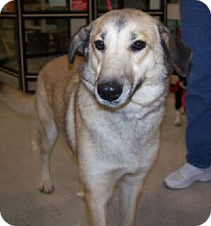 German Shepherd Dog Mix Dog for adoption in Lafayette, Louisiana - Anna