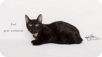 Siamese Cat for adoption in Corona, California - JOEL