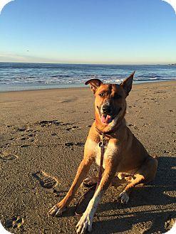 Shepherd (Unknown Type)/Pointer Mix Dog for adoption in Davis, California - Reddy