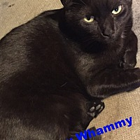 Domestic Shorthair Cat for adoption in New York, New York - Sammy Whammy