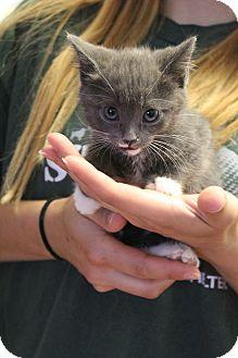 Domestic Mediumhair Kitten for adoption in Yucca Valley, California - Dusty Blu Mercury