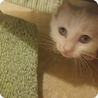 Domestic Shorthair Kitten for adoption in ROSENBERG, Texas - Juno