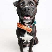 Adopt A Pet :: Chester - Jefferson, LA