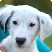 Adopt A Pet :: Andra - Brattleboro, VT