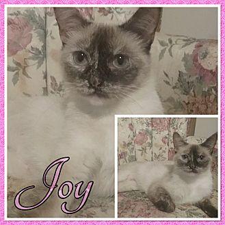 Siamese Cat for adoption in Cedar Springs, Michigan - Joy