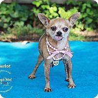 Adopt A Pet :: Merlot - Shawnee Mission, KS