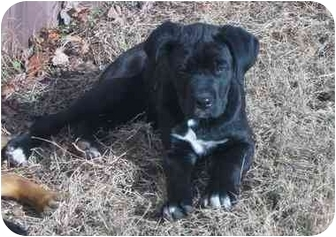 Great Dane/Boxer Mix Puppy for adoption in Evansville, Indiana - Rufus