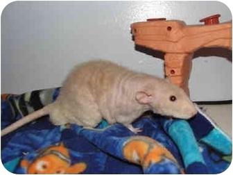 Rat for adoption in Hamburg, Pennsylvania - Xavier