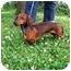 Photo 3 - Dachshund Dog for adoption in Seneca, South Carolina - BUDDY