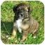 Photo 1 - Labrador Retriever/Border Collie Mix Puppy for adoption in Portsmouth, Rhode Island - Sadie Girl
