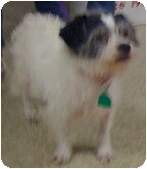 """Terrier (Unknown Type, Small) Mix Dog for adoption in Loudonville, New York - Lucy (aka """"Lu"""")"""