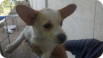 Chihuahua Mix Puppy for adoption in Niceville, Florida - Cracker
