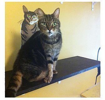 Domestic Shorthair Cat for adoption in Sugar Land, Texas - -Sugar
