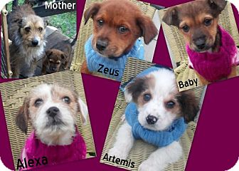 Terrier (Unknown Type, Small) Mix Puppy for adoption in New Jersey, New Jersey - NJ - Puppies