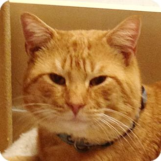 Domestic Shorthair Cat for adoption in Weatherford, Texas - RC