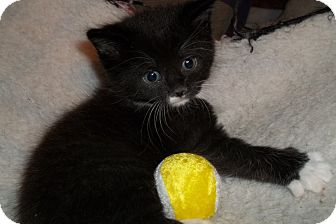 Domestic Shorthair Kitten for adoption in Acme, Pennsylvania - Black & White Kittens