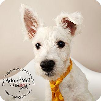 Westie, West Highland White Terrier Puppy for adoption in Omaha, Nebraska - Zeus-pending adoption