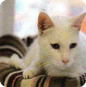 Domestic Shorthair Cat for adoption in Arcadia, California - Yeti