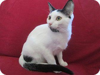 Turkish Van Cat for adoption in Richland, Michigan - Mowgli