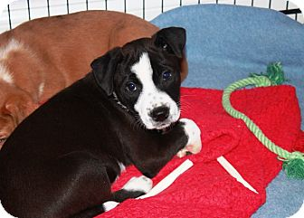 Australian Shepherd/Terrier (Unknown Type, Medium) Mix Puppy for adoption in Chattanooga, Tennessee - Bruce