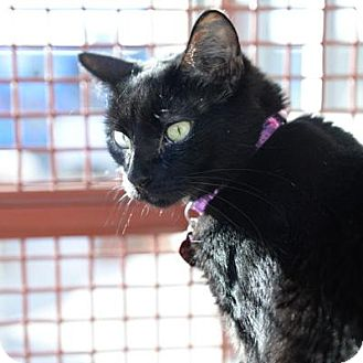 Domestic Shorthair Cat for adoption in Denver, Colorado - Pumpky
