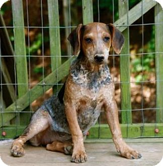 Cattle Dog/Beagle Mix Dog for adoption in Rochester, New York - Fiona (sharp)