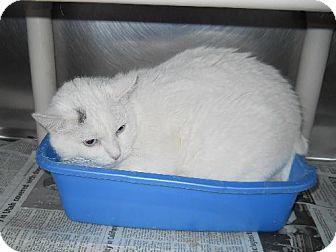 Domestic Shorthair Cat for adoption in Lewisburg, West Virginia - Star